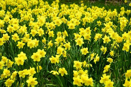 A field of Daffodils intentionally blurred for background Stock Photo
