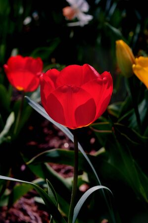 ambient light: Two bright red tulips backlit against the ambient light