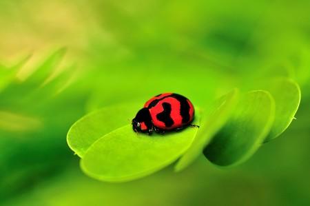 Beautiful lady bug macro on a green leaf back ground