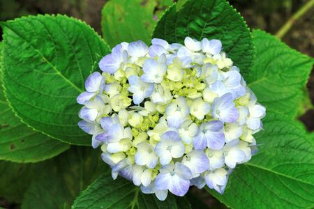 Beautiful blue hydrangea bloom on a natural background Stock Photo - 5121596
