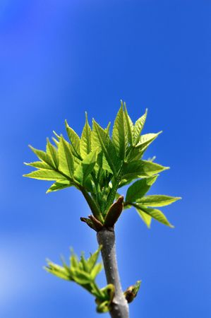 offshoot: New born leaves at the arrival of spring season