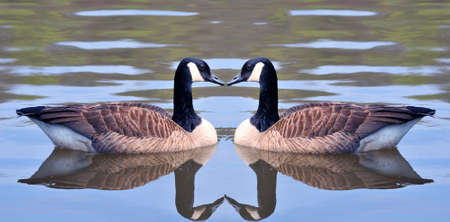 Two canadian geese forming an heart shape photo