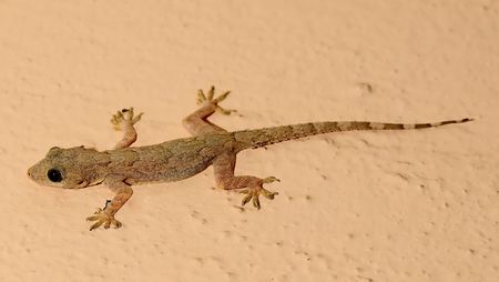 An young home lizard getting ready for dinner photo
