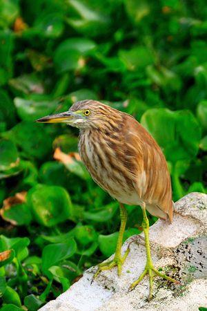 aquatic bird: A curious aquatic bird (Pond Heron) waiting to catch its prey Stock Photo