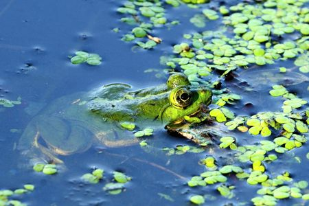 gratified: Green frog taking hiding in a marsh pond Stock Photo