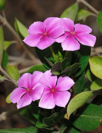 Two pairs of periwinkle flower against a natural back ground