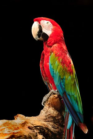 eagerly: A beautiful macaw eagerly looking at the camera Stock Photo