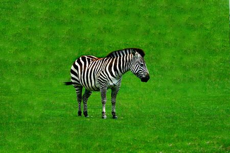 dobbin: An lonely zebra grazing on grass at a local zoo