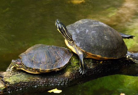 land turtle: A pair of turtles resting near the shore Stock Photo