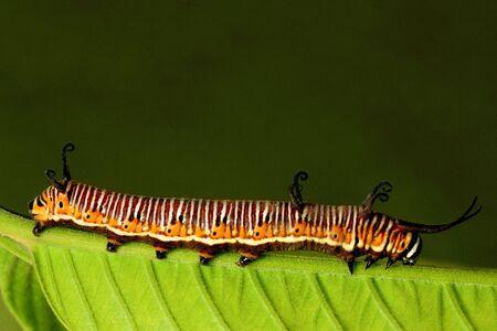 entomology: A beautiful caterpillar crawling on a green leaf Stock Photo