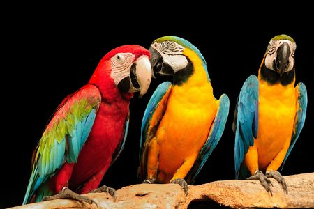beautiful macaws eagerly looking at the camera Фото со стока