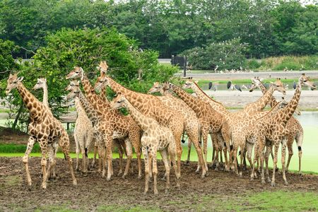 light duty: A group of Giraffees strolling in a wild area