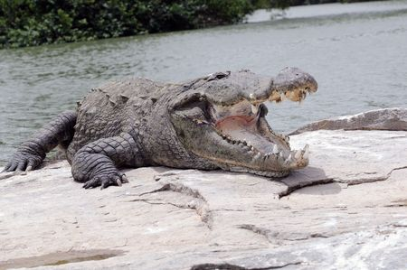concurrence: A giant crocodile opening its mouth wide open