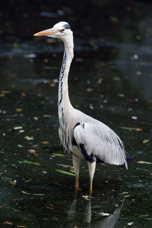 A beautiful heron standing tall at a local pond photo