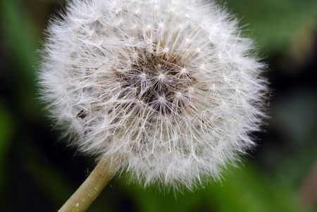 Close up shot of Dandelions during spring season photo