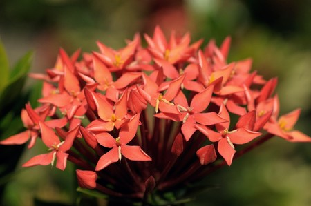 stamin: bunch of red ixora flowers at full bloom