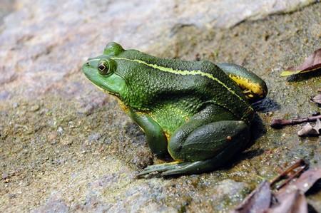 principe rana: Rana verde flotando en el agua