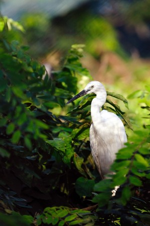 lacey: Greate intermediate egret at a locl zoo