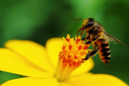 bee on flower: A bee busy drinking nectar from the flower Stock Photo