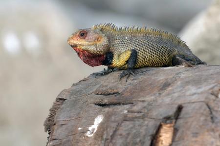 A male garden lizard attracting females photo