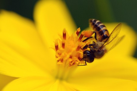 A bee pollinating a fresh yellow flower Stock Photo - 7839463