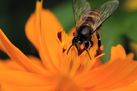 A bee pollinating a fresh yellow flower Stock Photo - 7839451