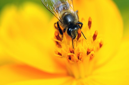 A bee pollinating a fresh yellow flower photo