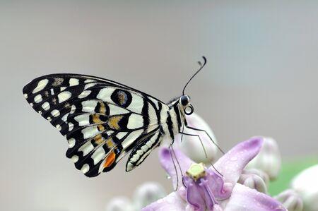 pierna rota: Mariposa de cal posarse sobre una flor amarilla temprano en la mañana  Foto de archivo