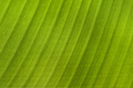 Intricate patterns in a backlit banana leaf photo