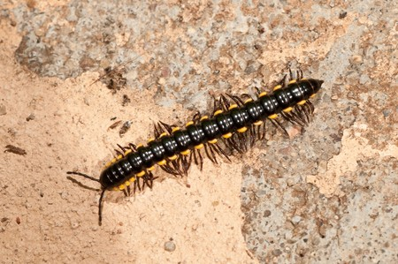 A black caterpillar on a rouch concrete wall photo