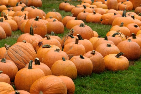Freshly harvested pumpkins at a pumpkin patch photo