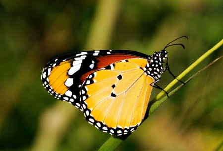 archetypal: A Plain tiger butterfly perching on a plant