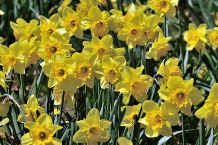 Daffodil flowers at full bloom early spring season photo
