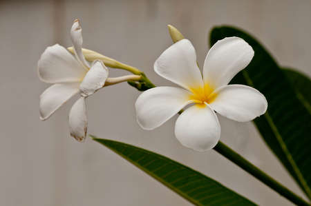 Frangipani flower at full bloom on a spring day