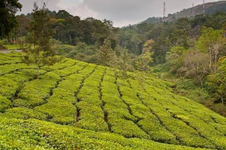 Tea Leaf with Plantation in the Background Stock Photo