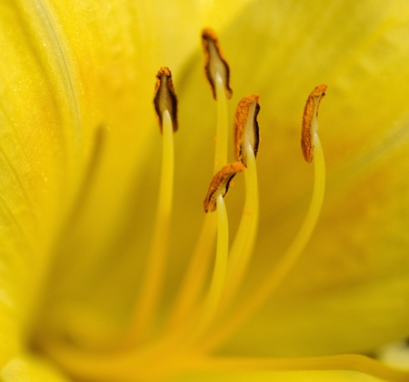 Extreme Close up of a day lily flower