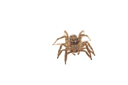 arachnida: A jumping spider isolated on a white background