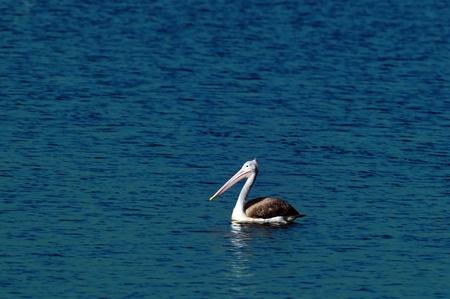 malandros: Un hermoso pel�cano gris en acci�n en un estanque local