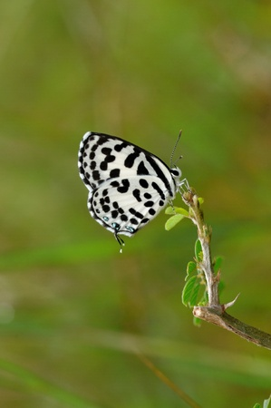 pierrot: Common Pierrot butterfly perching on a twig during spring