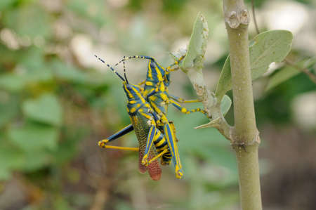 Close up photo of a beautiful painted Grasshopper photo