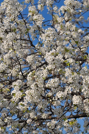 Cherry blossoms at the arrival of the spring season photo