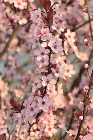 Cherry blossoms at the arrival of the spring season Stock Photo - 8703673