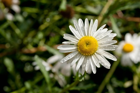 x mass: Shasta Daisies with Musk Mallows Behind