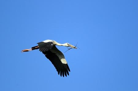 Asian Open bill stork in his natural habitat photo