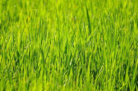 Sun shining thru the fresh green paddy fields photo