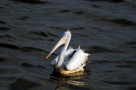 Spot Billed Pelican in his natural habitat Stock Photo - 8900258