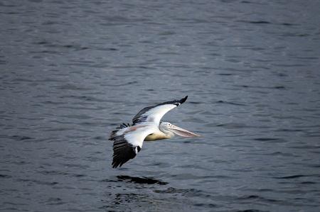 malandros: Pelican planas facturado en su h�bitat natural