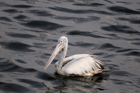 Spot Billed Pelican in his natural habitat photo
