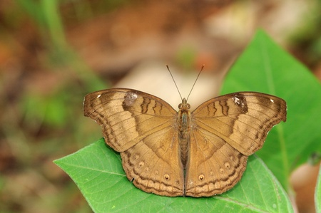 Close up ohot of a Chocolate pansy butterfly perching on a leaf  photo