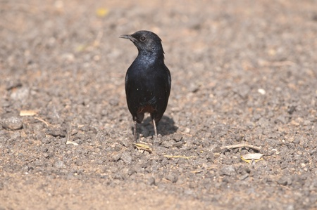 A male Indian robin birdsearching for its prey Stock Photo - 9265422